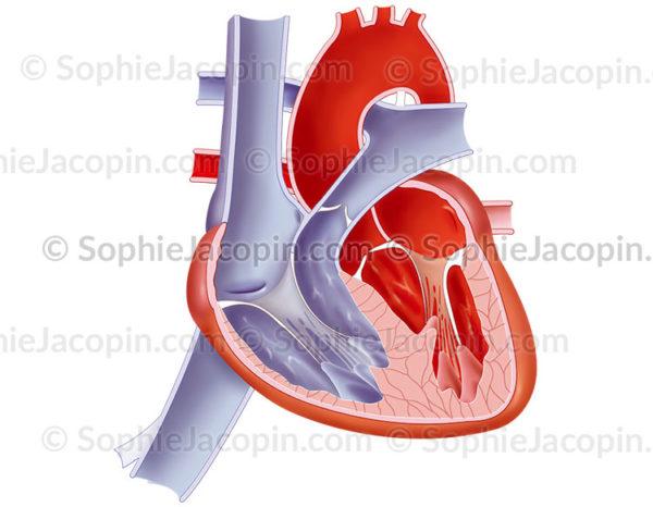 Anatomie du cœur d'un nourrisson, organe cardiaque à la naissance - © sophie jacopin