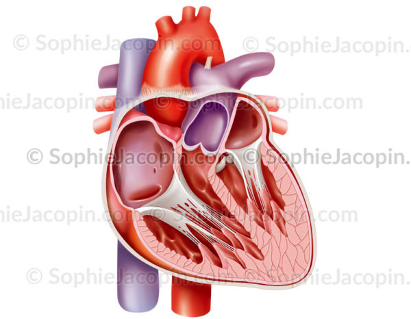 Anatomie du cœur adulte en coupe en vue antérieure et péricarde - © sophie jacopin