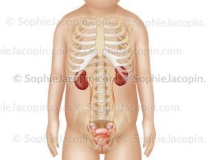 Anatomie du système urinaire féminin dans la silhouette d'une fillette de 3 ans. © sophie jacopin