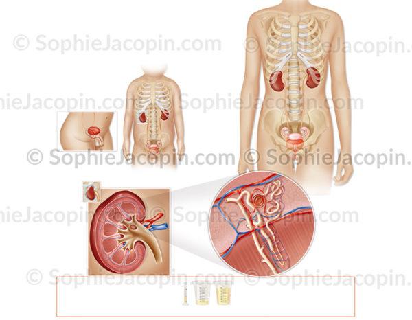 Anatomie comparative de l'appareil génito-urinaire chez une fillette de 3 ans et une adolescente. © sophie jacopin