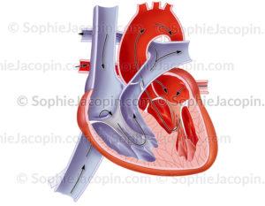 Cœur d'un nourrisson, organe cardiaque à la naissance - © sophie jacopin