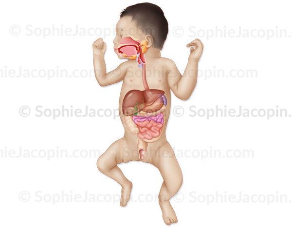 L'anatomie digestive du nouveau-né - pédiatrie - © sophie jacopin