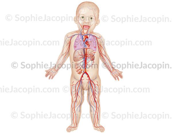 Aappareil circulatoire du nourrisson, sytème cardio-vasculaire artério-veineux - pédiatrie -© sophie jacopin