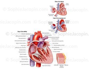 Cœur chez l'enfant, fœtus, nouveau-né et adulte et structure de la paroi cardiaque - © sophie jacopin