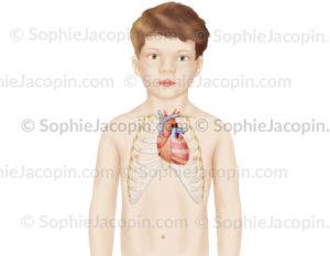 Position du coeur dans le thorax d'un enfant de 7 ans - Pédiatrie - © sophie jacopin
