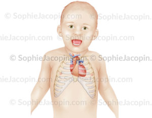 Position du cœur dans la cage thoracique d'un nourrisson - pédiatrie - © sophie jacopin