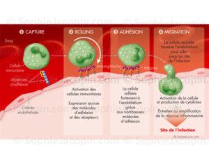 Immunité innée et adhésion membranaire, production de cytokines et réponse inflammatoire- © sophie jacopin