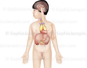 Système endocrinien chez un enfant de 5 ans, glandes endocrines - © sophie jacopin