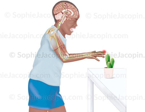 Arc réflexe, voies sensitive-motrices, voies sensitives, voies motrices, stimulus, douleur- © sophie jacopin