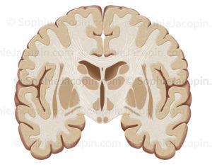 Cerveau, coupe frontale en avant du tronc cérébral- © sophie jacopin