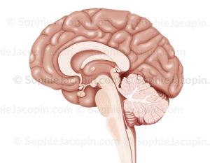 Coupe sagittale de l'encéphale, cerveau, cortex, diencéphale, hypophyse, cervelet, tronc cérébral - © sophie jacopin