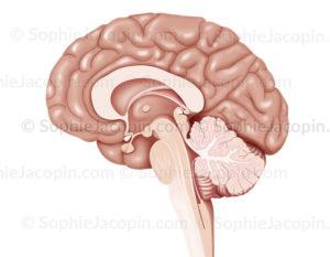 Encéphale coupe médiane, cerveau, cortex, diencéphale, hypophyse, cervelet, tronc cérébral - © sophie jacopin