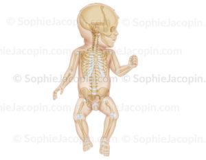 Squelette du nourrisson sur une vue antérieure avec le crâne de profil, pédiatrie. - © sophie jacopin
