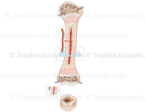 Structure de l'os chez l'enfant, développement osseux, structure cartilagineuse, pédiatrie - © sophie jacopin