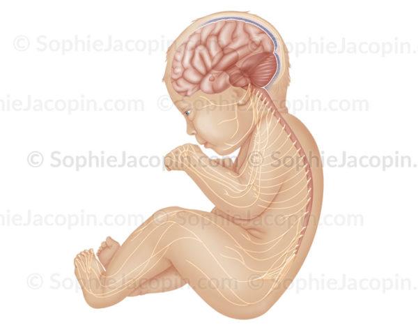Système nerveux du bébé, neurologie, moelle épinière, nerfs, système nerveux périphérique - © sophie jacopin
