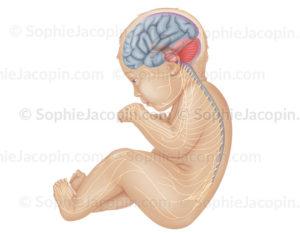Système nerveux du nourrisson, neurologie, moelle épinière, nerfs, système nerveux périphérique - © sophie jacopin