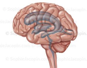 Système ventriculaire de l'encéphale en transparence en vue externe de profil du cerveau - © sophie jacopin