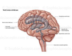 Ventricules cérébraux en transparence dans un cerveau en vue externe de profil - © sophie jacopin