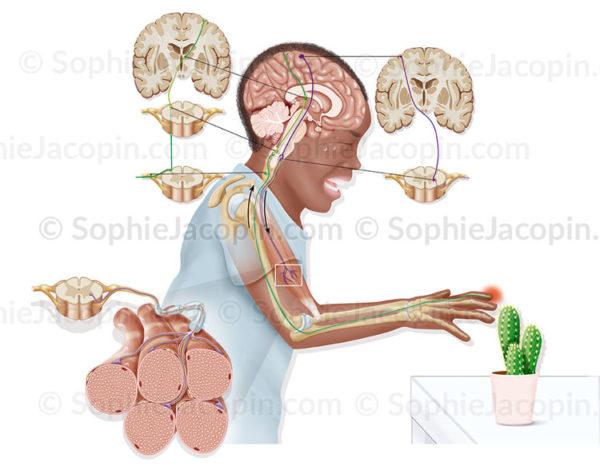 Voies sensitives, voies motrices, voies sensitive-motrices, arc réflexe, stimulus, douleur - © sophie jacopin