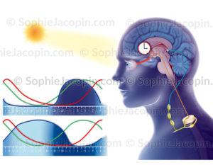 Cycle circadien et courbes du sommeil normal et anormal, perturbation du sommeil - © sophie jacopin