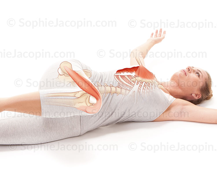 Illustration medicale_Anatomie posturale-Concentration sur le grand dentelet