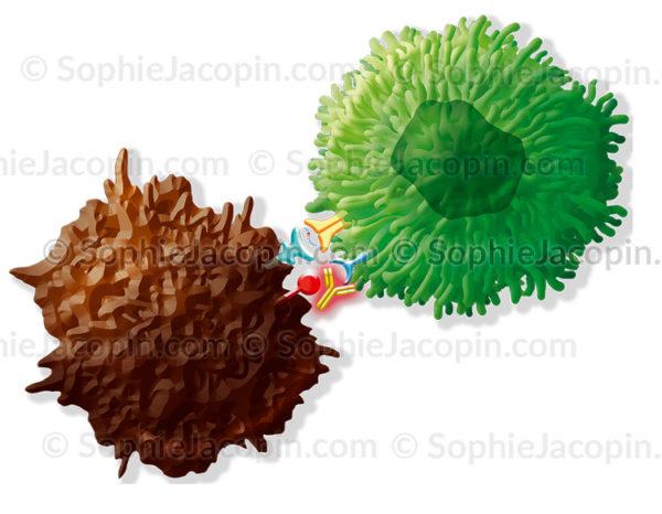 Immuno-oncologie, les anticorps anti PD-L1 des cellules cancéreuses - C sophie jacopin