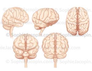 Cerveau, différentes vues, profil, 3/4 antérieure, dessus, antérieure, postérieure - © sophie jacopin