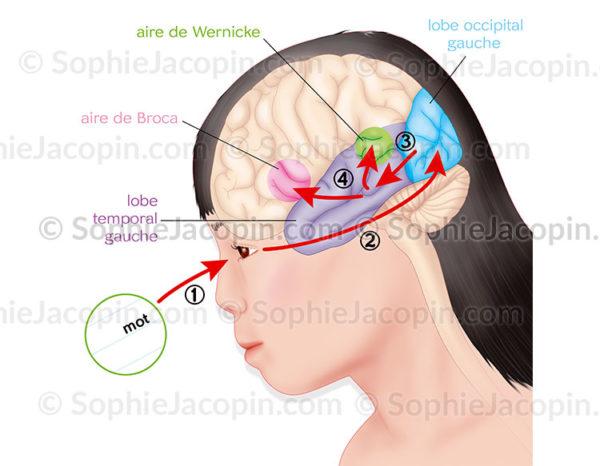 Cerveau et lecture, apprentissage, cheminement de l'œil, vers le lobe occipital, le lobe temporale, l'aire de Wernicke et l'aire de Broca - © sophie jacopin