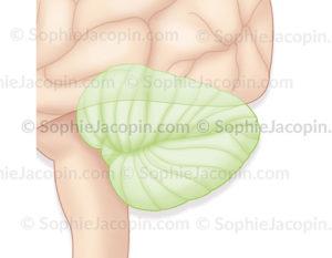 Le cervelet, représenté en vert sur un vue externe du cerveau © sophie Jacopin