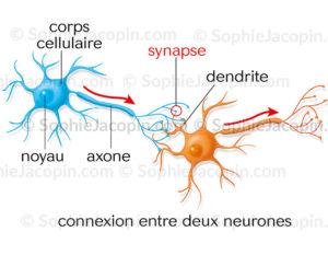 Connection entre deux neurones, transmission de l'influx nerveux d'un neurone A à un neurone B - © sophie jacopin