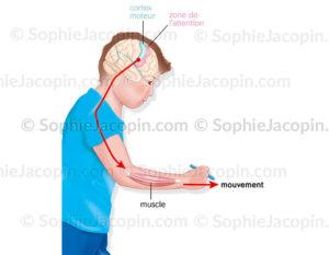Le contrôle moteur ou des mouvements musculaires par le cerveau et augmentation de l'attention - © sophie jacopin