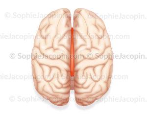Corps calleux représenté en orange sur une vue du dessus entre les deux hémisphères cérébraux - © sophie jacopin
