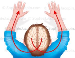 Hémisphères cérébraux sur une vue supérieure du cerveau en transparence dans la tête d'un enfant - © sophie jacopin