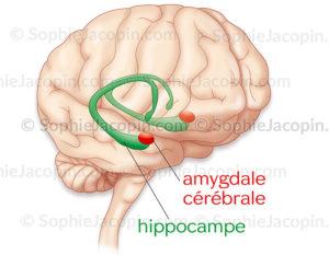 Hippocampe et amygdale, en transparence à l'intérieur d'une vue légèrement de 3/4 antérieure du cerveau - © sophie jacopin