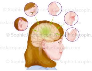 Les 5 sens représentés autour d'un visage de fillette - © sophie jacopin