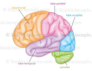 Lobes du cerveau, frontal, pariétal, occipital, temporal, cervelet - © sophie jacopin