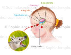Le système limbique au centre de notre cerveau (thalamus, hypothalamus, hippocampe amygdale) gère les émotions - © sophie jacopin