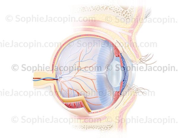 Anatomie de l'œil et de la paupière en coupe sagittale médiane avec mise en évidence de leurs structures - © sophie jacopin