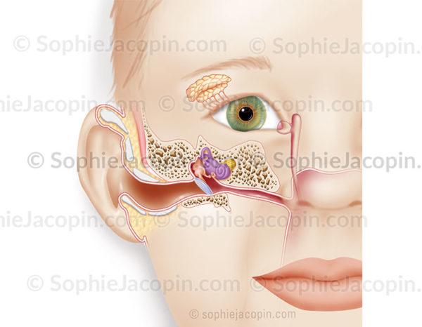 Anatomie de l'oreille chez un enfant, structure de l'appareil de l'audition - © sophie jacopin
