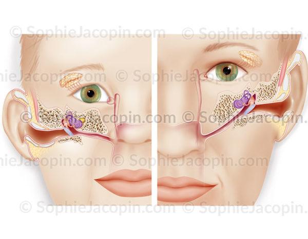 Anatomie comparative de l'oreille chez un enfant et chez l'adulte - © sophie jacopin