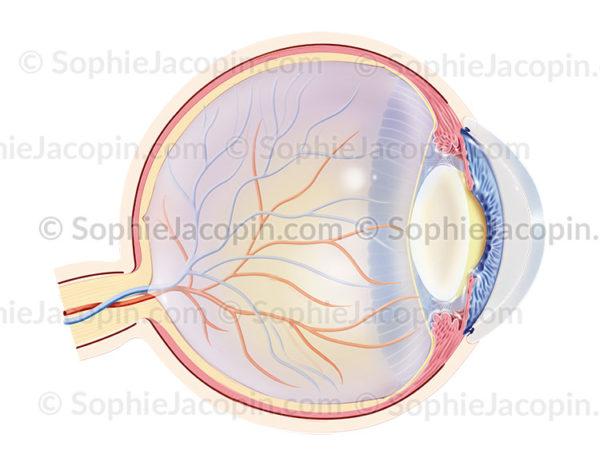 Cataracte, une pathologie oculaire qui touche le cristallin - © sophie jacopin