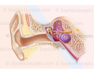 Oreille externe, moyenne et interne, anatomie, structure de l'appareil de l'audition - © sophie jacopin