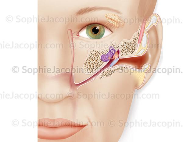 Structure de l'oreille chez l'adulte, anatomie de l'appareil de l'audition - © sophie jacopin